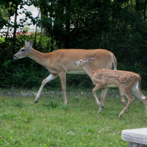 mama-deer-with-fawn